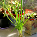 Thumbnail image for Kitchen Gardener: Grow Green Onions From Cuttings!