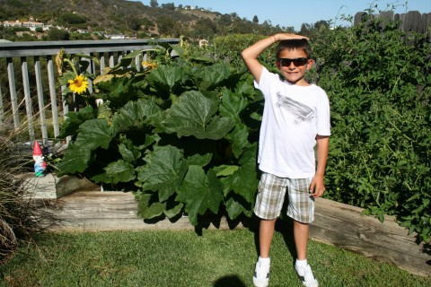 Zucchini plant as tall as a 3rd grader!