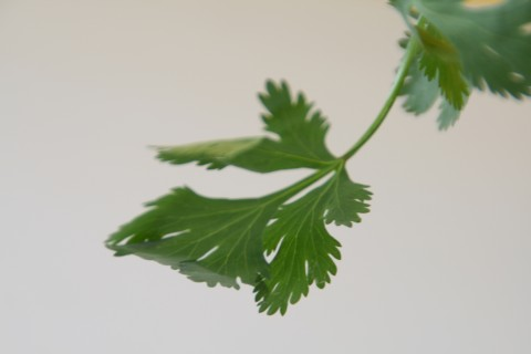 cilantro from Shockinglydelicious.com