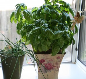 Basil on the windowsill