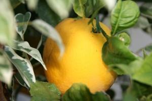 Meyer Lemon on the tree from Shockinglydelicious.com