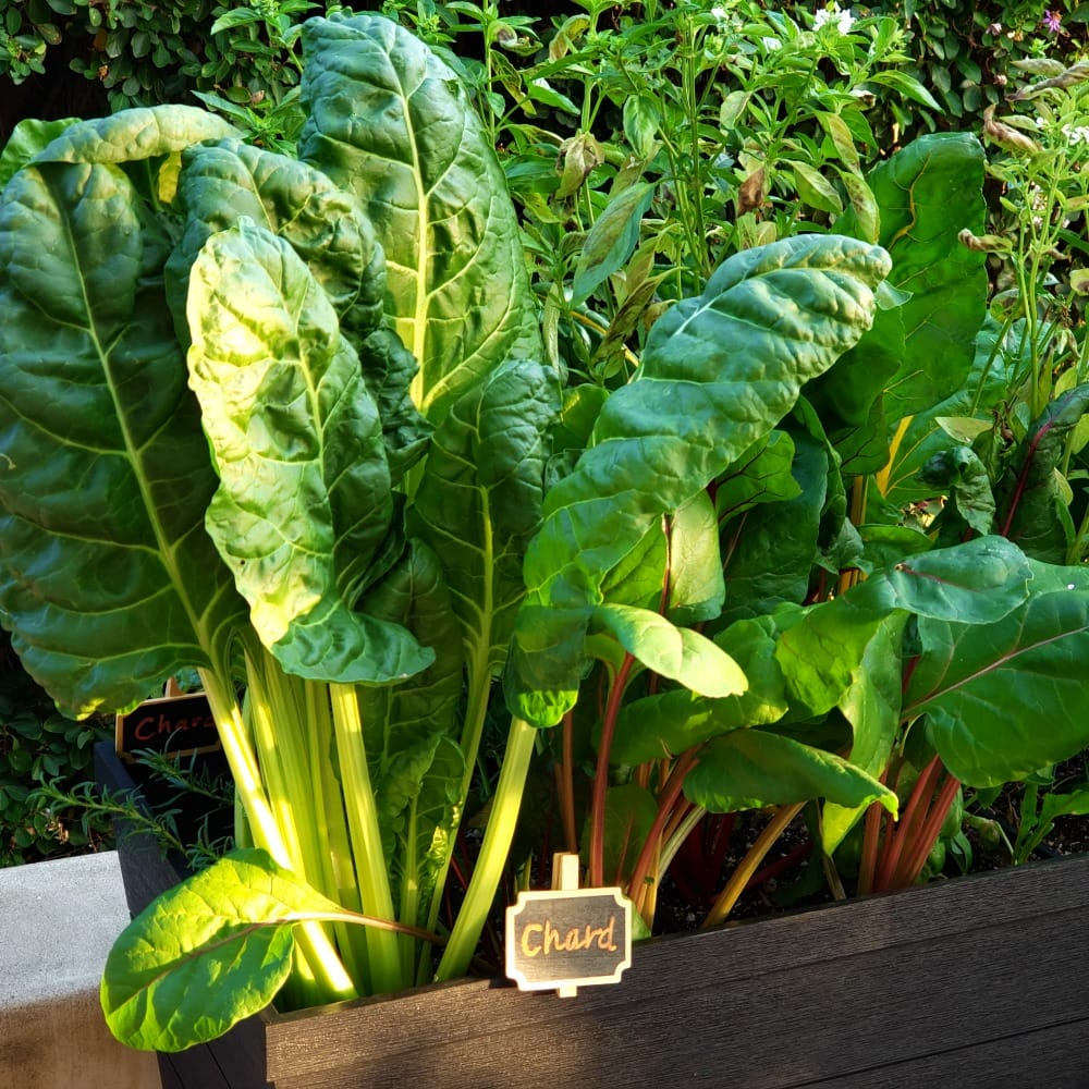 Chard in a raised planter bed