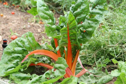 chard plant growing tall