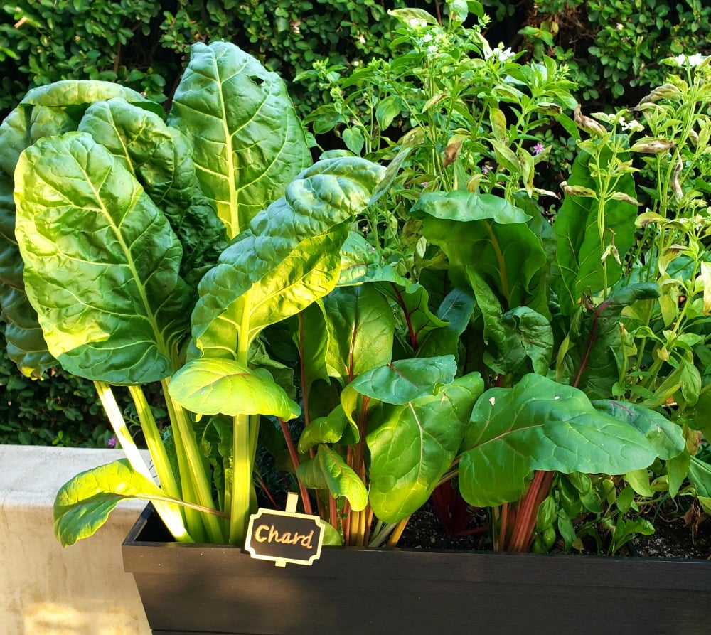 Swiss chard growing in a raised plater bed in Southern California