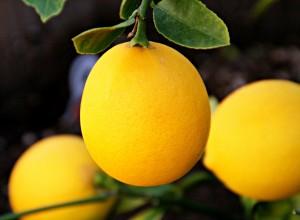 Meyer lemon hanging on tree