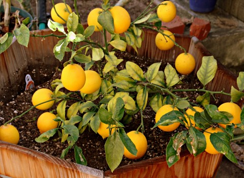 Meyer lemon tree loaded with fruit
