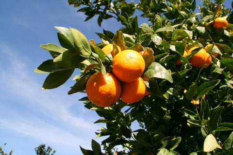 Pixie Tangerine tree