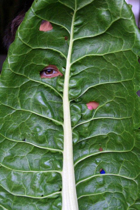 Oversize chard leaf with Nick peeking out