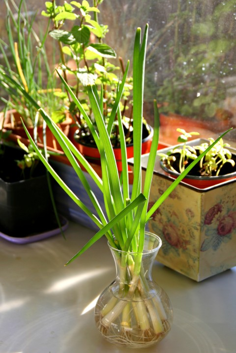 Kitchen Gardener: Grow Green Onions From Cuttings!