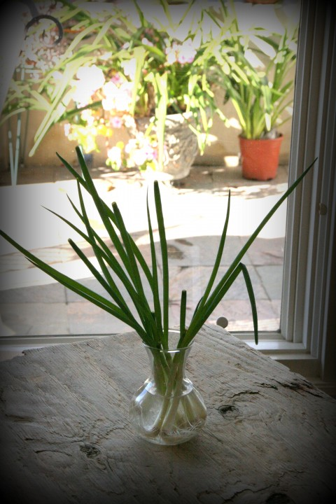 scallions growing
