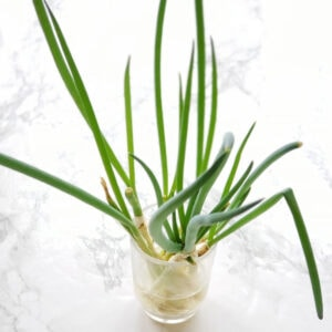 Regrow scallions from cuttings easily