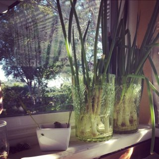 Green onions growing on a windowsill