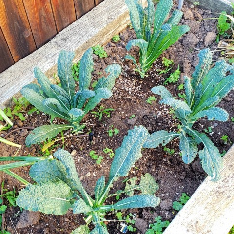 Tuscan kale growing in ShockinglyDelicious backyard