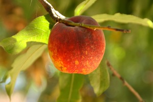 LeGrande Nectarine at Masumoto Farms on ShockinglyDelicious.com
