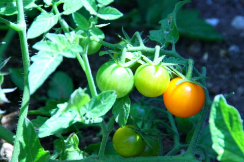 Cherry tomatoes growing in the back yard