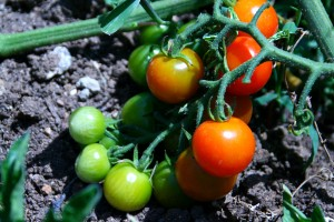 Cherry tomatoes in backyard