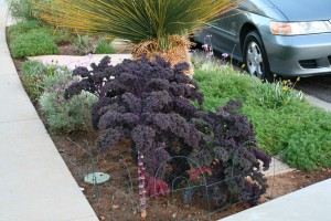 Grow kale in your front parkway