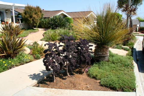 Redbor kale in the front parkway
