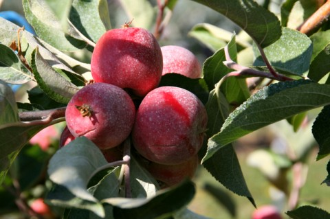 Surround Kaolin Clay used on Crimson Gold apples