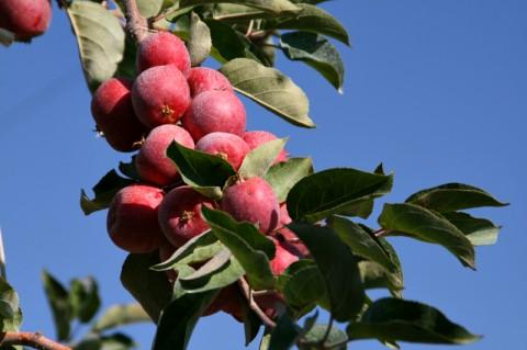 Crimson Gold Apples -- Tiny Tasty Treats