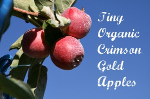 Organic Crimson Gold apples. Read about them here: https://www.shockinglydelicious.com/crimson-gold-apples-a-tiny-tasty-treat/