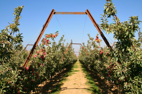 Organic Crimson Gold apples growing on V trellises
