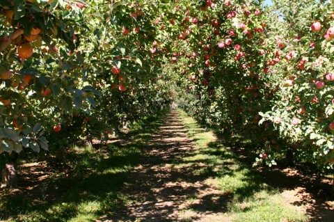 Cuyama Orchards apple orchard