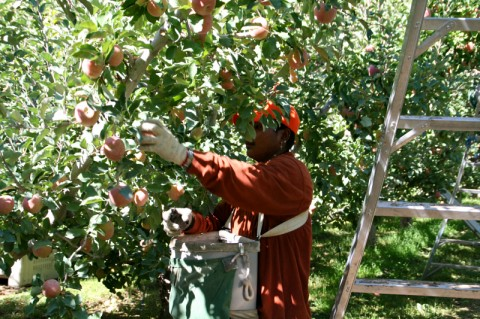 Picking Crimson Gold apples at Cayuma Orchards