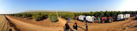 Sumo Citrus field panorama on Shockingly Delicious