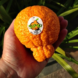 Sumo Citrus with sticker on Shockingly Delicious