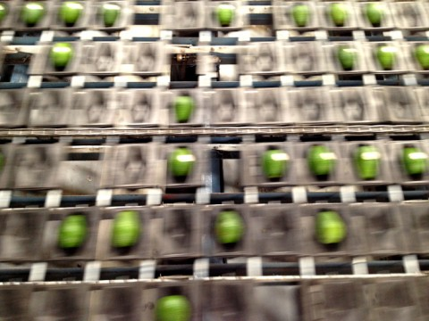 Avocados on the sizing machine at Mission Produce on Shockingly Delicious