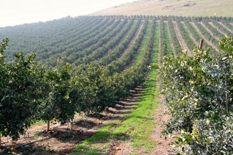 Sumo Citrus groves on Shockingly Delicious