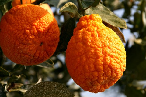 Sumo Citrus pair on Shockingly Delicious