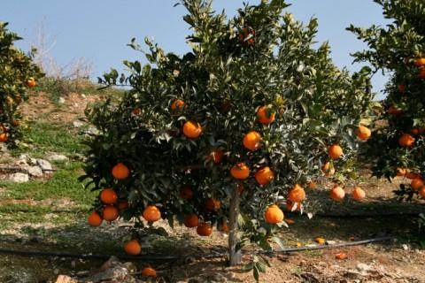 Sumo Citrus tree on Shockingly Delicious