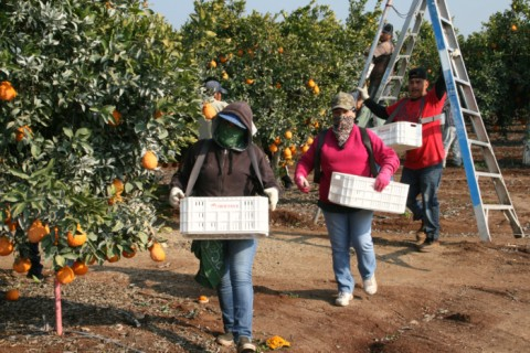 Sumo Citrus picking in the Central Valley on Shockingly Delicious