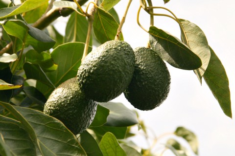 California Avocados on Shockingly Delicious
