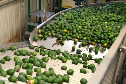 Avocados on the line at Mission Packing on Shockingly Delicious