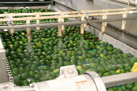 Avocados being washed and waxed at Mission Packing on Shockingly Delicious
