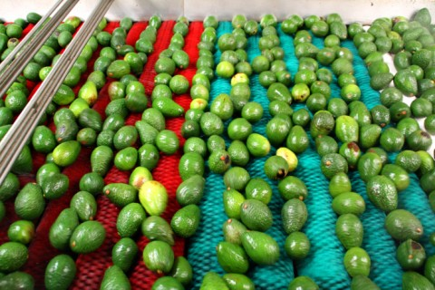 Avocados on the processing line at Mission Produce on Shockingly Delicious