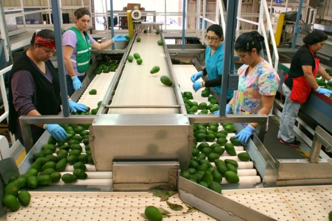 Avocados culled on the line at Mission Produce on Shockingly Delicious