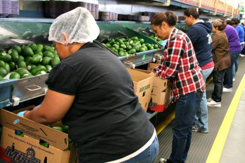 Avocados packed in boxes at Mission Produce on Shockingly Delicious