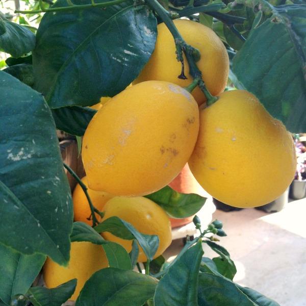 Meyer-lemon-tree-on-Shockingly-Delicious
