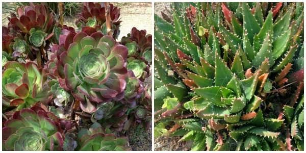 Xeriscape Gardening | www.ShockinglyDelicious.com