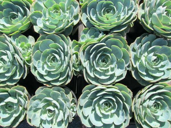 Echeveria Blue Rose (Echeveria imbricate) on Shockingly Delicious
