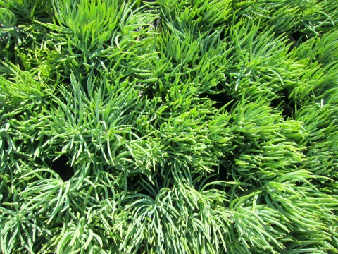 Narrow-Leaf Chalksticks (Senecio vitalis) on Shockingly Delicious