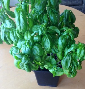 Basil in pot on Shockingly Delicious
