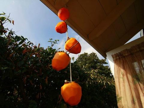 Hanging_Hachiya_Persimmons_to_become_Hoshigaki