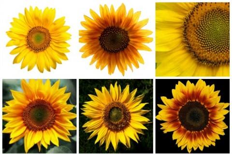 Sunflower Collage on ShockinglyDelicious.com