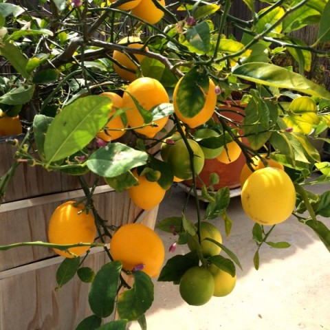 Meyer Lemon tree signals spring cleaning time on ShockinglyDelicious.com