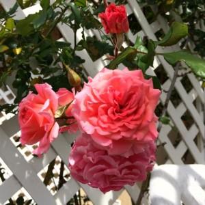 Roses on ShockinglyDelicious.com